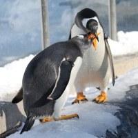 ジェンツーペンギン、違うのはどれ?