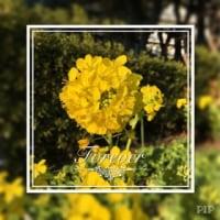 菜の花 リベンジ撮影