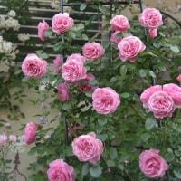 今春の マイ素敵だったバラ大賞の1・・・「レオナルド・ダ・ヴィンチ」