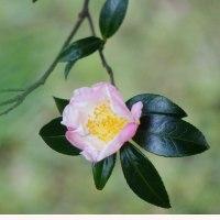 サザンカ 〈山茶花:ピンクの一重咲〉