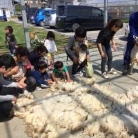 2017年ひつじの毛刈りショー