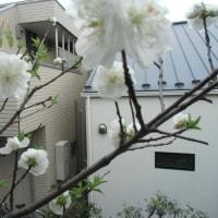 ベランダの白桃