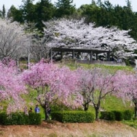 550号 石岡市 「風土記の丘の桜」。筑波実験植物園 「さくらそう展」。野草の天ぷら。