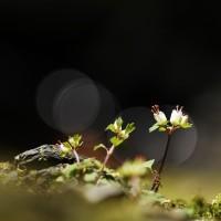 毎月25日は雑草倶楽部の日 ハナネコノメ・コチャルメ草