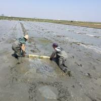 レンコンの植え付け、ポンプ掘りの田んぼ、その3