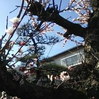 愛亀慕情~梅の花咲き誇る頃に~
