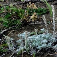 オタネ浜の花26シロヨモギ