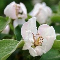 ポエム153 『ラ・フランスの花びらに』