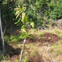 晴天が続きリンドウが水不足に成って居るので畝間潅水をしました