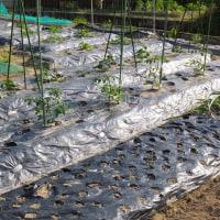 スイカ栽培、これからが大事な時期でスイカのツル先におリボン&着果ラベルを付け…