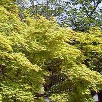 はつ夏の木陰 若楓