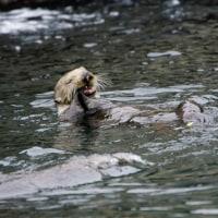 ラッコ・モントレー/Sea otter・Monterey Port