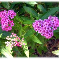 俳句の季語は夏(^^♪下野国(しもつけ:今の栃木県)で発見され「シモツケ」