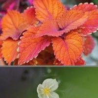コリウスと水草の花