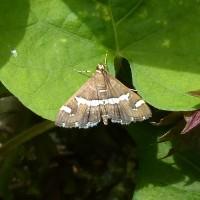 シロオビメイガ(白帯暝蛾)