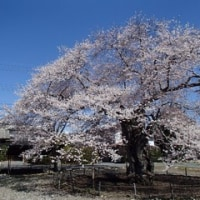山岳博物館の桜そろそろ散り初め