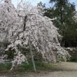 枝垂桜 埼玉県秩父長瀞:法善寺のしだれ桜(弥陀の桜、与楽の地蔵桜)