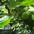 小的緑的柿子