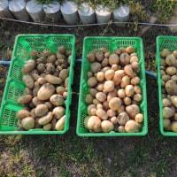 2017年6月19日:ジャガイモ収穫しました。