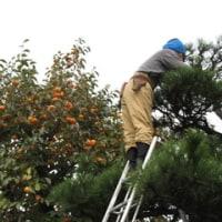 10月23日(日)柿の収獲