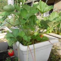 ハウス栽培が主流 イチゴ