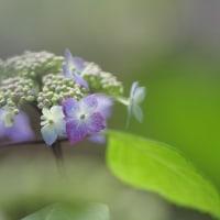 山紫陽花 『黒姫』