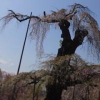 荒川 清雲寺の桜