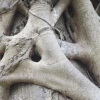 小鳥たち(ヒガラ)の巣を見つけた!ガジュマルの幹が絡みつき古い幹に巣穴が!縄張り争いも!