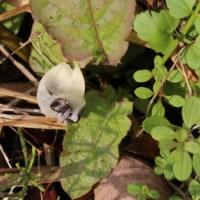 スズメウリ(ウリ科・スズメウリ属)つる性一年草