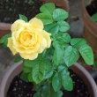 黄色いバラが咲きました!