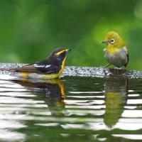弘法山公園の水場にて キビタキ