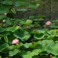 東大阪の町工場の隣に蓮池