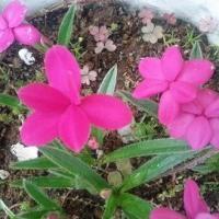 苗の植え付けと、陰で咲く花たち・・・