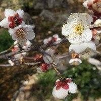 京都 北野天満宮の梅