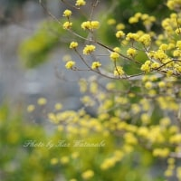 サンシュユ満開:半田山植物園