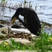 鵜の口に釣り針が びわ湖