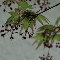 イロhモミジ開花