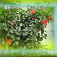 フォト花交心日記qx2607『 藪椿実生の日よりお友だち 』