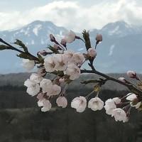 桜を追って