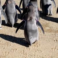 ペンギンの足跡・フンボルト