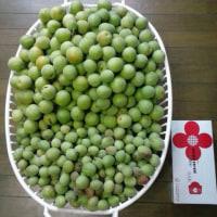 大収穫の梅もぎ報告と、nonガングリアン診断
