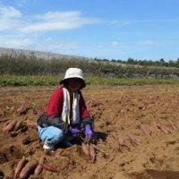 「40才からの農業体験 おとなの援農 さつまいもの収穫」に行き 生まれて初めて援農をしてきました!!(2016.10.15)@東都生協