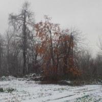 雪大根を採る