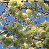 村富神社のうこん桜