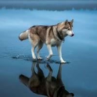 ロシア犬の屈強な北方的性質