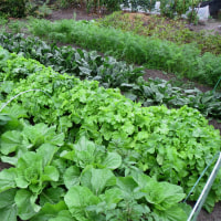 秋野菜の生育は順調