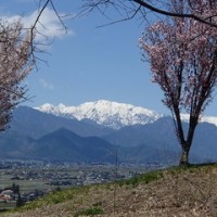 桜コレクションー池田町