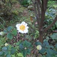 庭に一輪、白い花が!