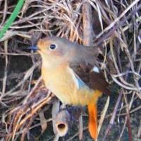 『花水の野鳥』 尉鶲