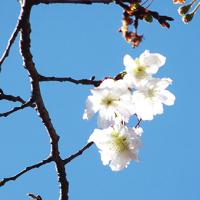 神代植物公園・バラ・ダリア・十月ザクラ